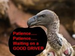 White-backed-Vulture-face-and-neck3.jpg